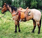 Gelding out of Cowboy