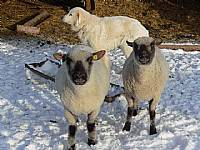 shropshire sheep / گوسفند نژاد شروپ شایر