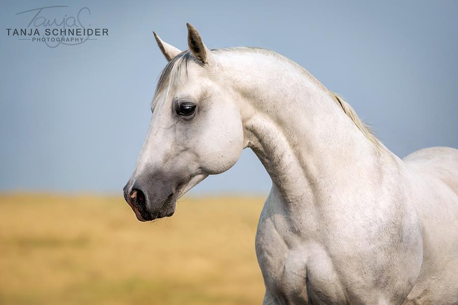STALLION:  Pegasus