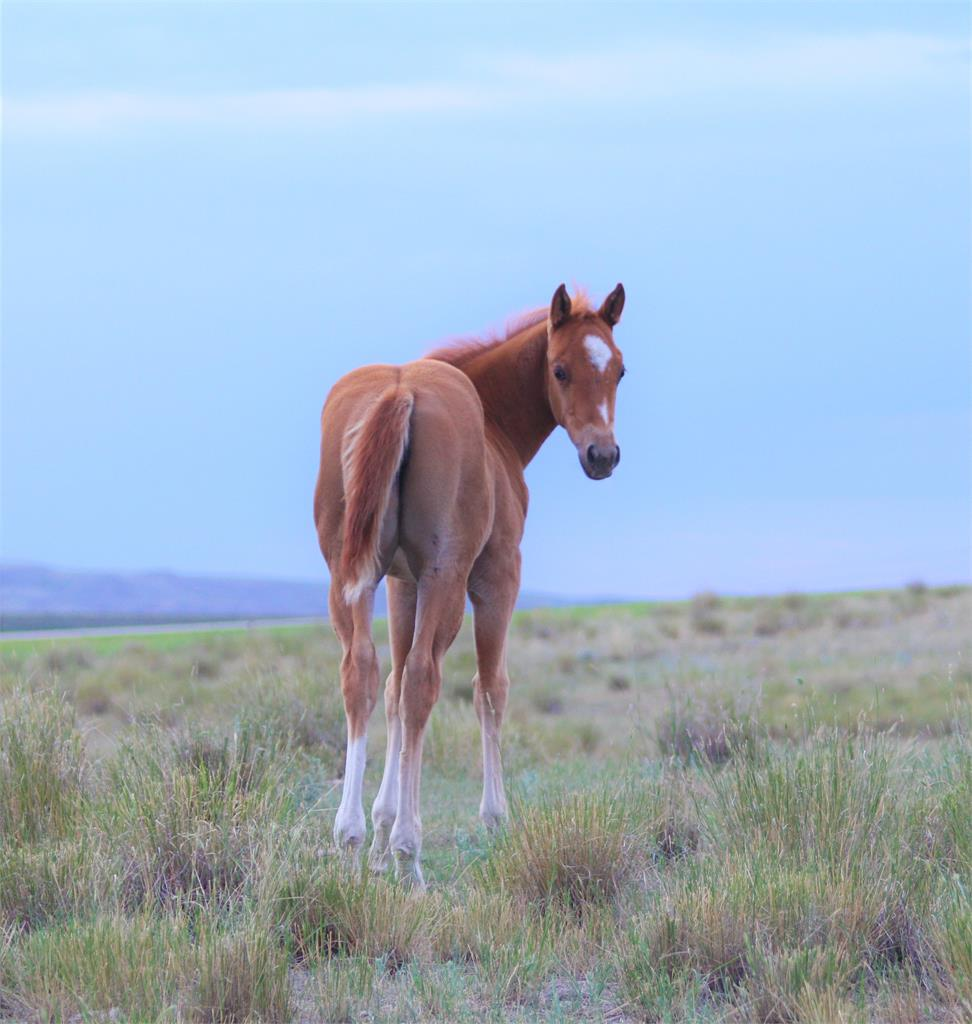 Image #2 (2019 Promise sorrel filly (Silver dilution carrier))