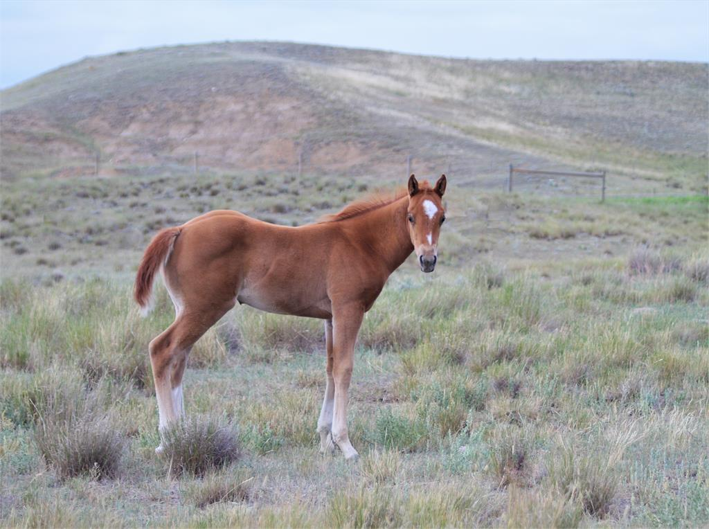 2019 Promise sorrel filly (Silver dilution carrier)