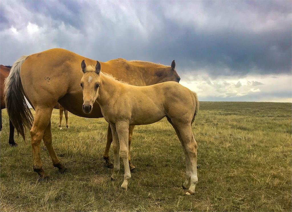 2019 Bling palomino filly