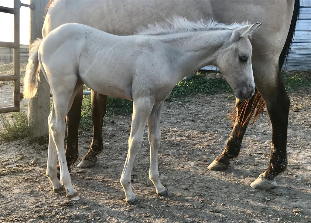 2019 Candy palomino filly (Silver dilution carrier)