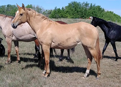 Image courtesy of SuDan Quarter Horses