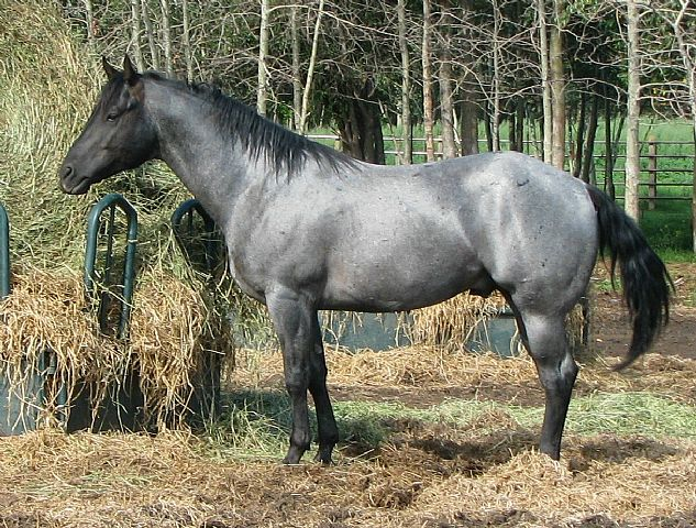 Blue Roan Tobiano Paint Stallion